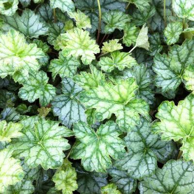 Heuchera 'Mint Frost' -