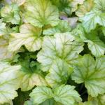 Heuchera 'Mint Julep' - Purperklokje - Heuchera 'Mint Julep'