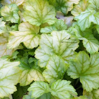 Heuchera 'Mint Julep' -