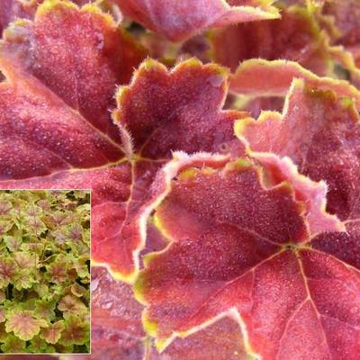 Heuchera 'Miracle' -