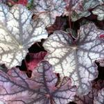 Heuchera micrantha 'Pewter Moon' - Purperklokje