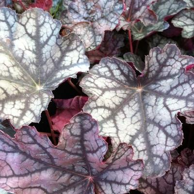 Heuchera micrantha 'Pewter Moon' -