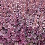 Heuchera 'Plum Royale' - Purperklokje