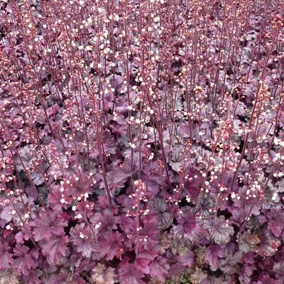 Heuchera 'Plum Royale' - Purperklokje - Heuchera 'Plum Royale'