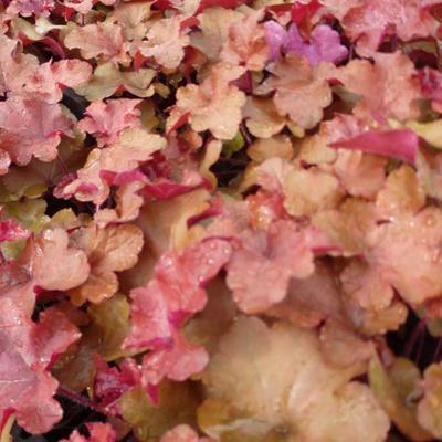 Heuchera 'Red Sea' -