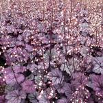 Heuchera 'Sugar Plum'  - Purperklokje - Heuchera 'Sugar Plum'
