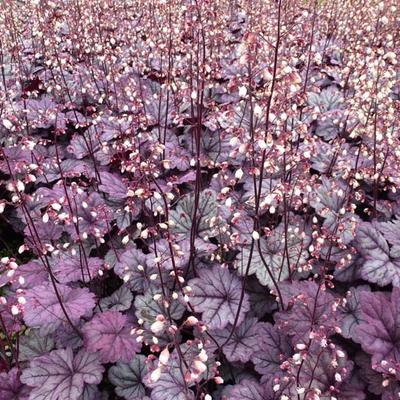 Heuchera 'Sugar Plum'  -