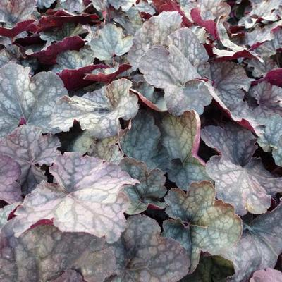 Heuchera 'Velvet Night' -
