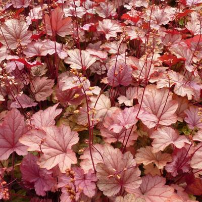 Heuchera CITY 'Vienna' -