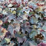 Purperklokje - Heuchera micrantha 'Palace Purple'