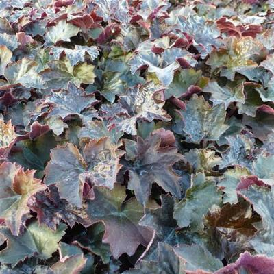 Heuchera micrantha 'Palace Purple' - Purperklokje - Heuchera micrantha 'Palace Purple'