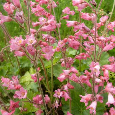 Heuchera sanguinea 'Bressingham Hybrids' - Purperklokje - Heuchera sanguinea 'Bressingham Hybrids'