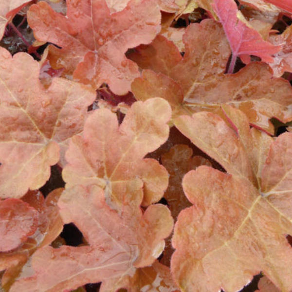 X Heucherella 'Red Rover'