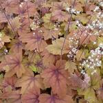 X Heucherella 'Sweet Tea' - Purperklokje - X Heucherella 'Sweet Tea'