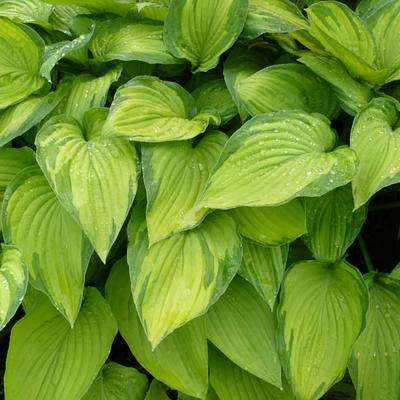 Hosta 'Fortunei Albopicta'  -