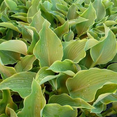 Hosta 'Abba Dabba Do' -