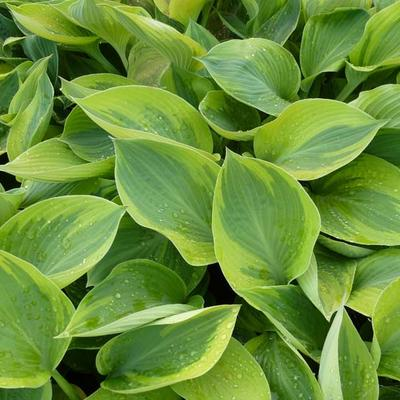 Hosta 'Alex Summers' - Hartlelie / funkia - Hosta 'Alex Summers'