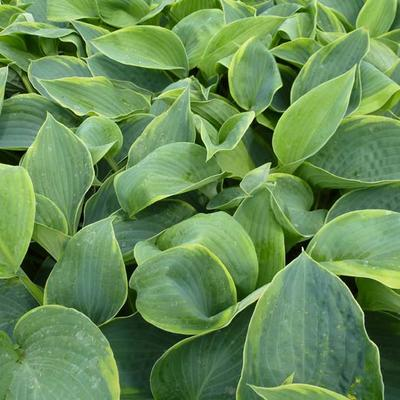 Hosta 'Alvatine Taylor' -