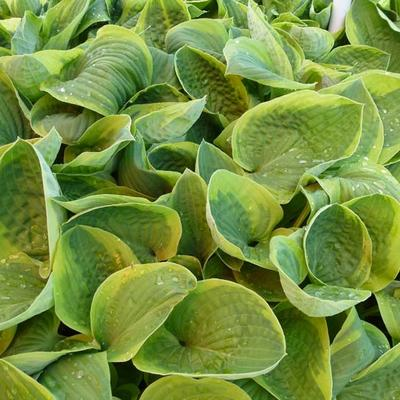 Hosta 'August Beauty' -