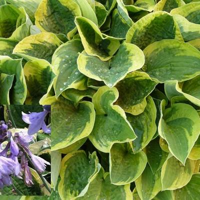 Hosta 'Austin Dickinson' -
