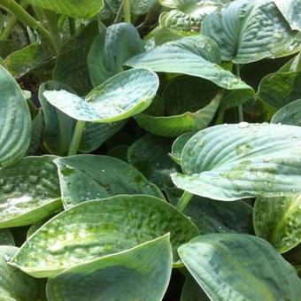 Hosta 'Big Chance'
