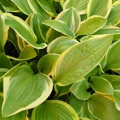 Hosta 'Bill Brincka' -