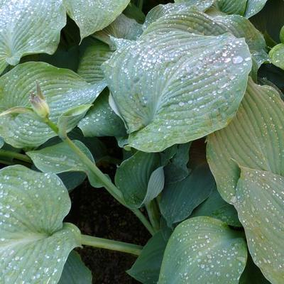 Hosta 'Blue Angel' - Hartlelie - Hosta 'Blue Angel'