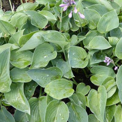 Hosta 'Blue Cadet' - Hartlelie - Hosta 'Blue Cadet'