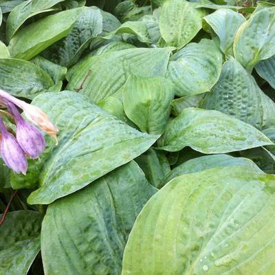 Hosta 'Blue Mammoth' -