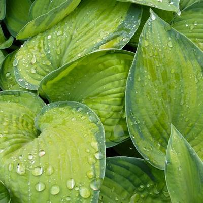 Hosta 'Bright Lights' -