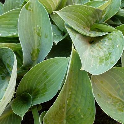 Hosta 'Brother Ronald' -