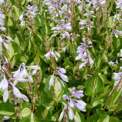 Hosta 'Center of Attention' -