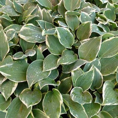 Hosta 'Chantilly Lace' -