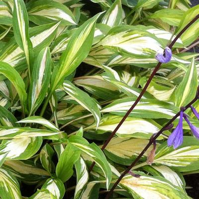 Hosta 'Cherry Berry' -