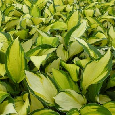 Hosta 'Color Festival' -