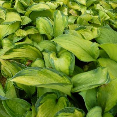 Hosta 'Color Glory' -