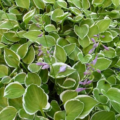 Hosta 'Diamond Tiara' -