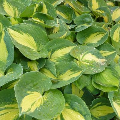 Hosta 'Dream Queen' -