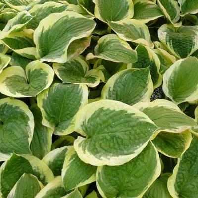 Hosta 'Formal Attire' -