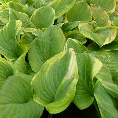 Hosta 'Fragrant Bouquet' - Hartlelie/Funkia - Hosta 'Fragrant Bouquet'