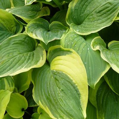 Hosta 'Fragrant Dream' -