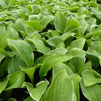 Hosta 'Fragrant Fire' -