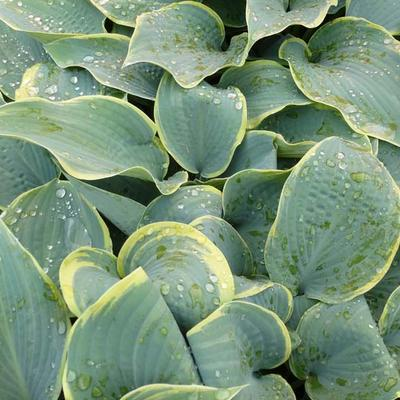 HOSTA HYBRIDE 'FROSTED DIMPLES' - P 9 - Hartlelie / funkia