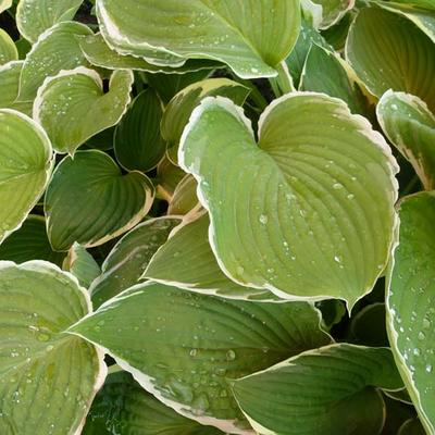 Hosta 'Frosted Jade' -