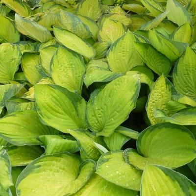 Hosta 'Gold Standard'  - Hartlelie - Hosta 'Gold Standard'