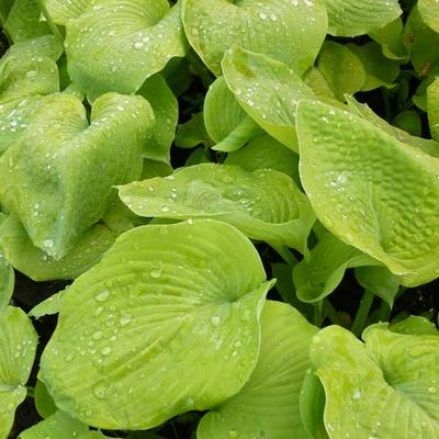 Hosta 'Golden Sunburst' -