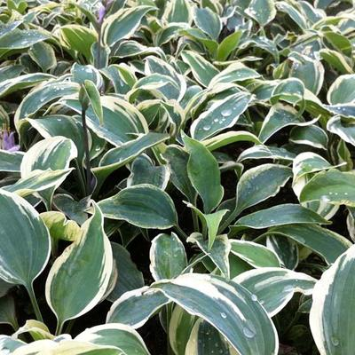 Hosta 'Great Escape' -