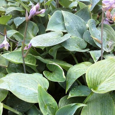 Hosta 'Grey Beauty' -