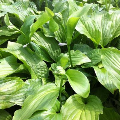 Hosta 'Honeybells' - Hartlelie - Hosta 'Honeybells'