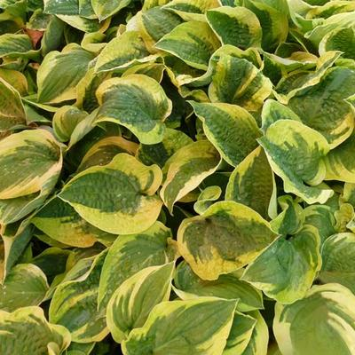 Hosta 'Honeysong' -
